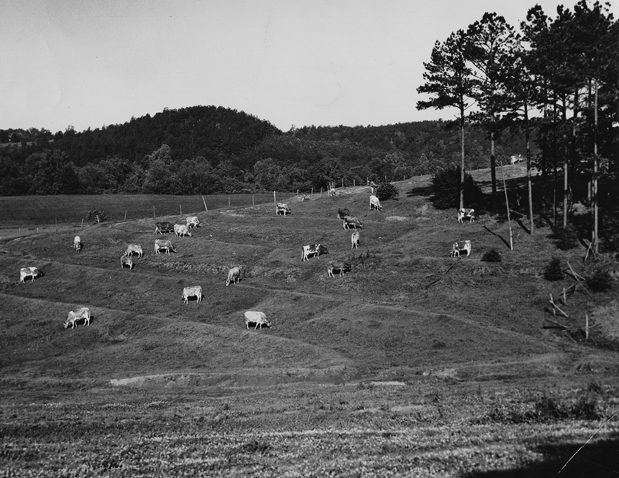 IV. Cows in pasture